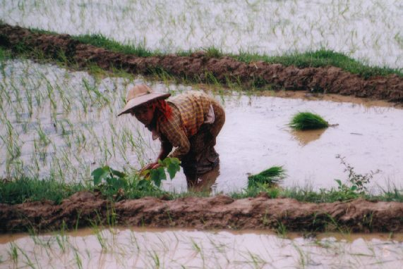 The paddy plants for transplantation are of regular size.